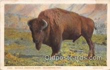 yan030004 - Yellowstone Park, USA Buffalo, American Bison Postcard Post Card