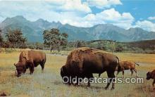 yan030010 - Photo by Three Lions, Inc Buffalo, Bison Postcard Post Card
