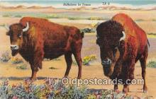 yan030015 - Texas, USA Buffaloes Postcard Post Card