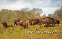 yan030026 - New York Zoological Park, USA American Bison Herd Postcard Post Card