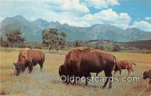 yan030028 - Buffalo, Bison Postcard Post Card