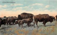 yan030029 - Buffaloes Postcard Post Card