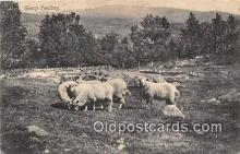 yan050007 - Sheep Feeding Postcard Post Card