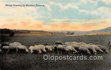 yan050016 - Western Pasture Sheep Grazing Postcard Post Card