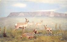 yan060002 - American Antelope Postcard Post Card