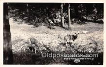 yan060009 - Rapid City, SD, USA Real Photo - Wild Deer Postcard Post Card