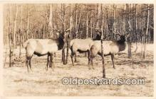 yan060028 - Real Photo Elk Postcard Post Card