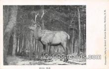 yan060034 - Bull Elk Postcard Post Card