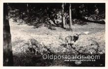 yan060035 - Rapid City, SD, USA Wild Deer Real Photo Postcard Post Card