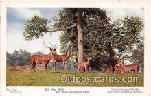 yan060042 - New York Zoological Park, USA Red Deer Herd Postcard Post Card