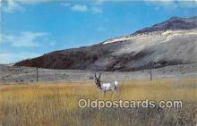 yan060058 - Buck Antelope Postcard Post Card