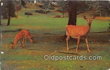 yan060107 - Central Adirondacks, USA Adirondack White Tail Deer & Twin Fawns Postcard Post Card