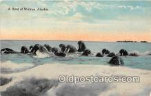yan080012 - Alaska Herd of Walrus Postcard Post Card