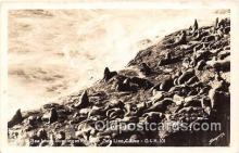 yan080016 - Sea Lion Caves Real Photo - Sea Lions Postcard Post Card