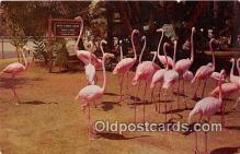 yan090001 - San Diego Zoo, CA, USA Flamingos Postcard Post Card