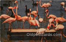 yan090015 - Florida, USA Florida Flamingos Postcard Post Card