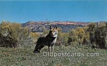 yan100003 - Great West Coyote Postcard Post Card