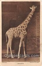 yan110007 - Giraffe Postcard Post Card
