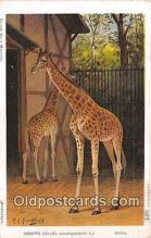yan110010 - Afrika Giraffe Postcard Post Card