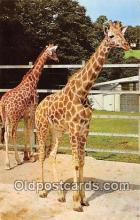 yan110013 - Chessington, Surrey Chessington Zoo's Giraffes Postcard Post Card
