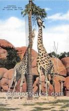 yan110015 - St Louis, MO, USA Giraffes, Forest Park Zoo Postcard Post Card