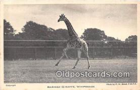 yan110022 - Whipsnade Park Baringo Giraffe Postcard Post Card