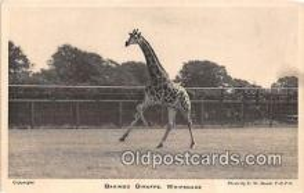 yan110025 - Whipsnade Park Baringo Giraffe Postcard Post Card