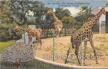 yan110027 - Brookfield, IL, USA Giraffes, Chicago Zoological Park Postcard Post Card