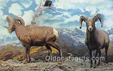 yan120004 - Kansas City, Missouri, USA Bighorn Mountain Sheep Postcard Post Card