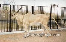 yan120006 - New York Zoological Park, USA Eland Postcard Post Card