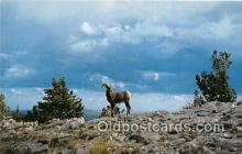 yan120011 - Sandias Big Horn Sheep Postcard Post Card