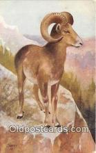 yan120012 - Mountain Sheep Postcard Post Card