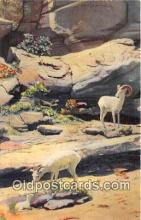 yan120015 - Texas, USA Mountain Sheep Postcard Post Card