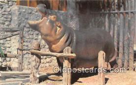 yan130013 - Fort Worth Texas Zoo, TX, USA Blue Bonnet Belle, Nile Hippo Postcard Post Card