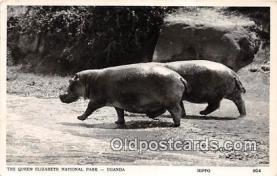 yan130019 - Uganda The Queen Elizabeth National Park, Hippo Postcard Post Card