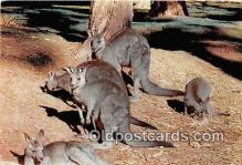 yan140009 - Australian Kangaroo Postcard Post Card