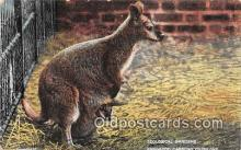 yan140011 - Zoological Gardens Kangaroo Carrying Young Postcard Post Card