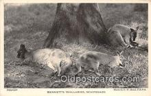 yan140014 - Whipsnade Park Bennett's Wallabies Postcard Post Card