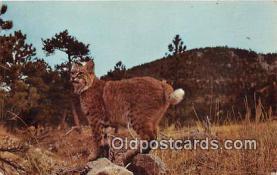 yan150015 - Bobcat Postcard Post Card
