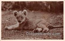 yan150036 - Kenya Lion Cub Postcard Post Card