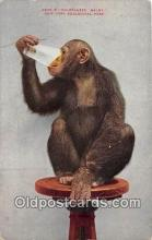 yan190002 - New York Zoological Park, USA Chimpanzee Baldy Postcard Post Card