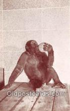 yan190005 - Woodland Park Zoo, Seattle, Washington, USA Gorilla Postcard Post Card