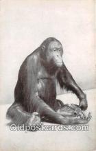 yan190006 - Chicago Natural History Museum, USA Orang or Orang Utan Postcard Post Card