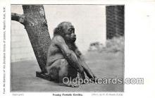 yan190018 - Regents Park, NW Young Female Gorilla Postcard Post Card