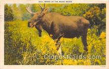 yan200003 - Maine, USA Bull Moose Postcard Post Card