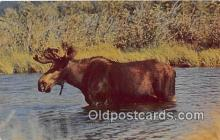 yan200004 - Color Photo by CP Ry Northern Moose Postcard Post Card