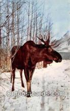 yan200010 - Alaska Great Bull Moose Postcard Post Card