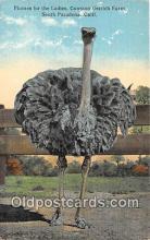 yan210004 - South Pasadena, CA, USA Plumes, Cawston Ostrich Farm Postcard Post Card