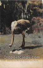 yan210007 - Ostrich Farm, FL, USA Ostriches & Nest Postcard Post Card