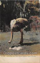 yan210007 - Ostrich Farm, FL, USA Ostriches & Nest Postcard Post Card